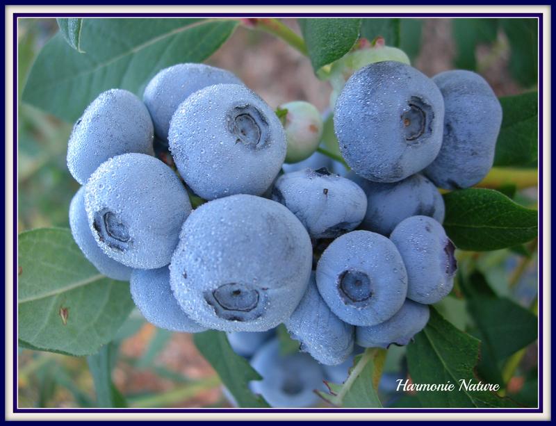 <p>D&eacute;licieux bleuets que vous pouvez vous procurer en autocueillette.&nbsp;</p>