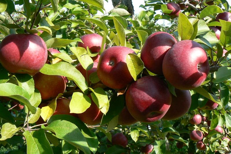 <p>29 vari&eacute;t&eacute;s de pommes.<br />Autocueillette de pommes et de raisins.</p>