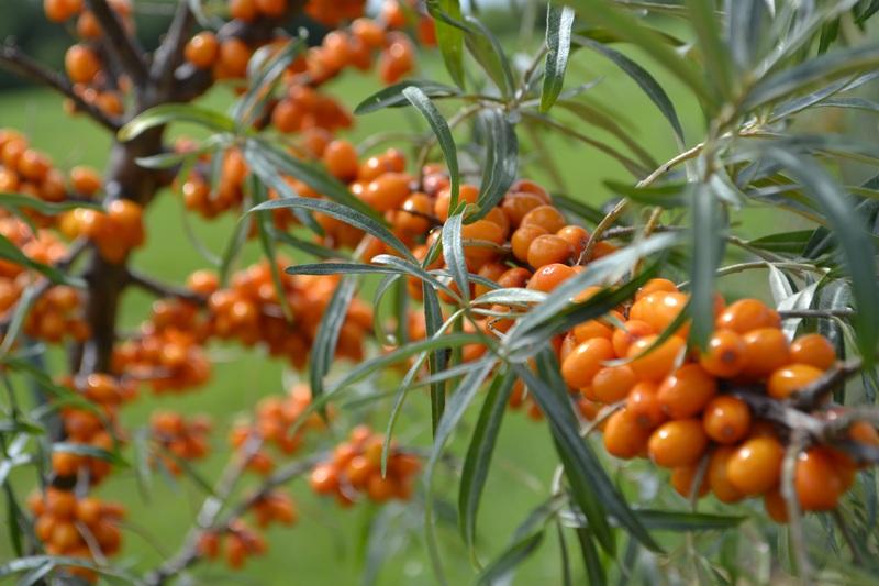 <p>Autocueillette de baies d&#39;argousier de diff&eacute;rents cultivars.</p>