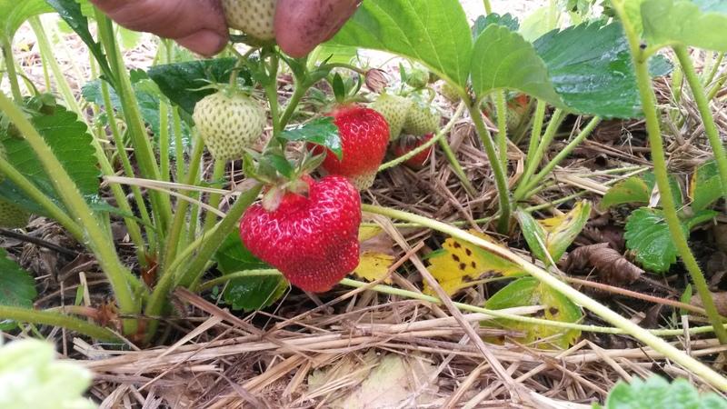 <p>De d&eacute;licieuses fraises que vous pouvez venir cueillir vous-m&ecirc;me!</p>