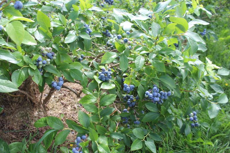 <p>De d&eacute;licieux bleuets.</p>