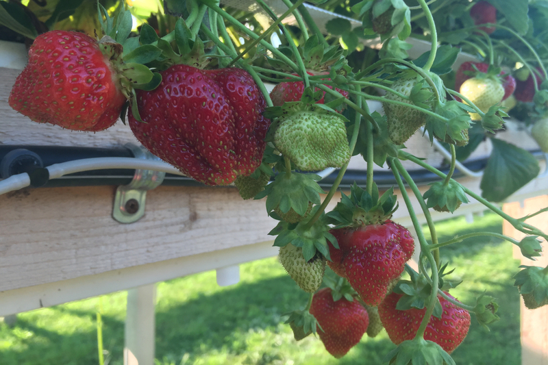 De savoureuses fraises d'automne (hors-sol).