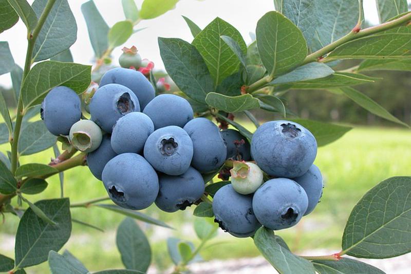 Autocueillette de bleuets cultivés de façon écologique.