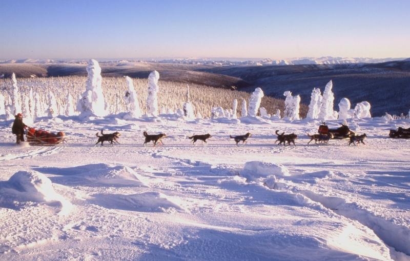<p>Les bureaux de la Yukon Quest se trouvent &eacute;galement dans ce b&acirc;timent. Reconnue comme l&rsquo;une des courses de chiens de tra&icirc;neau les plus difficiles au monde, ses comp&eacute;titeurs parcourent 1&thinsp;600 kilom&egrave;tres (1&thinsp;000 miles) entre Whitehorse et Fairbanks en Alaska, en f&eacute;vrier de chaque ann&eacute;e.<br /><br />La difficult&eacute; r&eacute;side non seulement dans la longueur du parcours et les temp&eacute;ratures qui peuvent avoisiner les -50 &deg;C; les musheurs doivent aussi s&rsquo;occuper eux-m&ecirc;mes de leurs chiens tout au long du trajet, ce qui ne leur permet quasiment pas de dormir, hormis durant une pause obligatoire de 36 heures &agrave; Dawson.<br /><br />Cr&eacute;dit photo : Gouvernement du Yukon, Cathie Archbould</p>