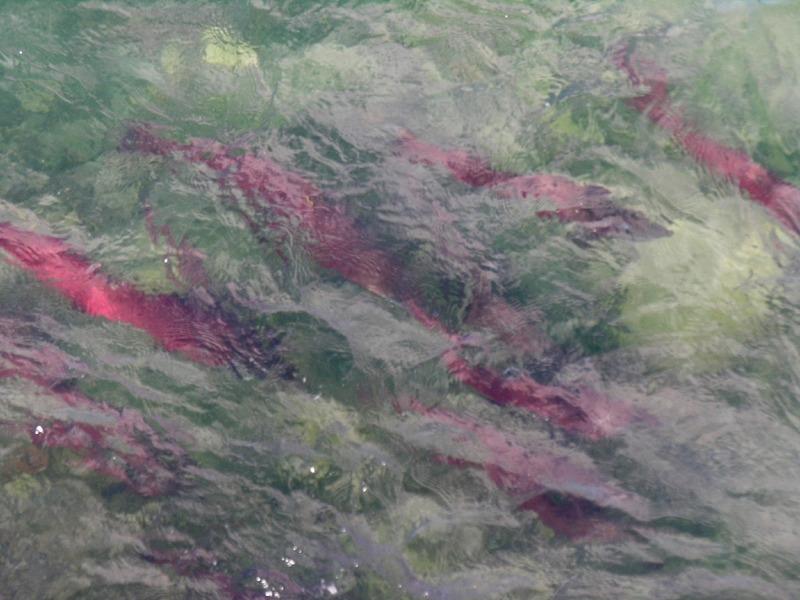 <p>Au-del&agrave; des avantages du barrage, il a aussi beaucoup chang&eacute; le fleuve; l&rsquo;un de ses effets les plus dramatiques a &eacute;t&eacute; subi par les saumons dont la route migratoire a &eacute;t&eacute; coup&eacute;e.<br /><br />La passe migratoire, commun&eacute;ment appel&eacute;e &eacute;chelle &agrave; poissons, a donc &eacute;t&eacute; construite un an apr&egrave;s le barrage pour permettre aux saumons de retourner d&eacute;poser leurs &oelig;ufs &agrave; la source du fleuve ou dans ses affluents, comme ils l&rsquo;ont fait pendant des mill&eacute;naires. Les saumons Chinook qui remontent la passe migratoire effectuent la migration en eau douce la plus longue au monde, avec plus de 3&thinsp;000 kilom&egrave;tres &agrave; parcourir depuis la mer de B&eacute;ring jusqu&rsquo;&agrave; la source du fleuve.<br /><br />Photo : Saumons rouges frayant &agrave; la passe migratoire<br />Cr&eacute;dit photo : Gouvernement du Yukon</p>