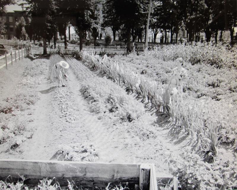 <p>&Agrave; l&rsquo;&eacute;poque, la famille Couture produit des l&eacute;gumes, des pommes, des fraises et du miel. Elle fait &eacute;galement l&rsquo;&eacute;levage de porcs et de vaches laiti&egrave;res et tient une &eacute;curie avec quelques chevaux, d&rsquo;o&ugrave; son importante production de foin.<br /><br />Sur la photo : Le jardin de Pierre Couture, en 1948.<br /><br />Photo : &copy; SHSAD</p>