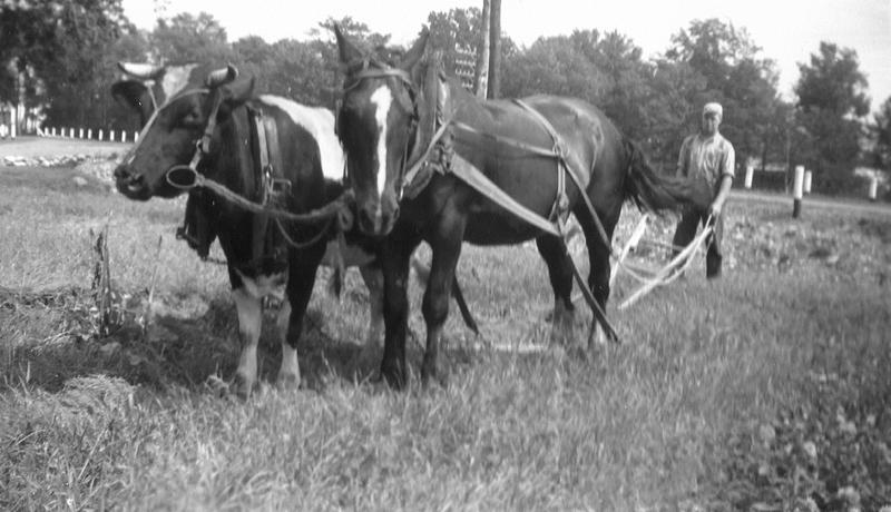 <p>En 1940, 185 agriculteurs cultivent 10 500 arpents de terre &agrave; Saint-Augustin. Ils produisent principalement de l&#39;avoine, du lin, des l&eacute;gumes et, surtout, du foin. Jean-Paul C&ocirc;t&eacute;, que l&rsquo;on peut voir sur la photo, allie intelligence et force en utilisant un cheval et un b&oelig;uf pour labourer sa terre situ&eacute;e aux abords de la route 138.<br /><br />Photo : &copy; SHSAD</p>