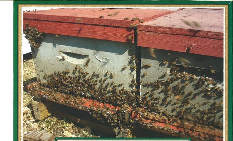 <p>Annette et Marquis, les deux artisans de Miel-de-Beauce poss&egrave;dent environ 300 ruches.&nbsp;La saison s&#39;&eacute;tend de mai &agrave; septembre.<br />Une bonne ruche peut produire approximativement 45 kg de miel.<br /><br />Ouverture de 9h00 &agrave; 17h00.&nbsp;<br /><br />Source:&nbsp;Calendrier &laquo;La Citadelle&raquo; 2012<br />&nbsp;</p>