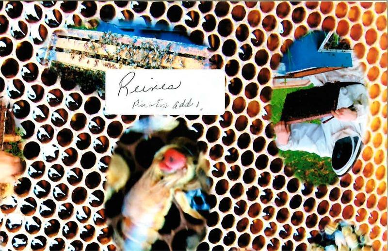 <p>Une seule reine par ruche.&nbsp;<br /><br />Source: Miel-de-Beauce (Juillet 2015)</p>