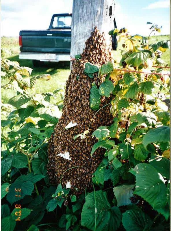 <p>Environ 40 000 abeilles ouvri&egrave;res sont au travail au plus fort de la saison.<br /><br />Source:&nbsp;Miel-de-Beauce (2015)</p>