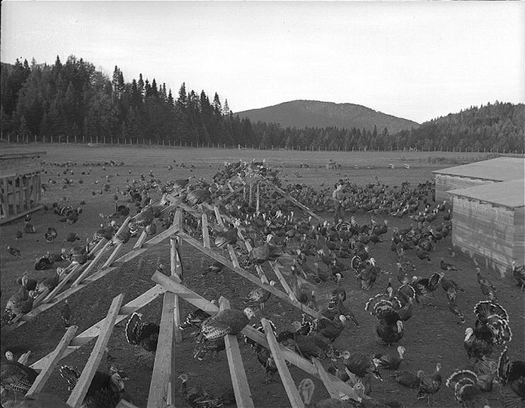 <p>Turkey farm. (1944) Biblioth&egrave;que et Archives nationales du Qu&eacute;bec</p>