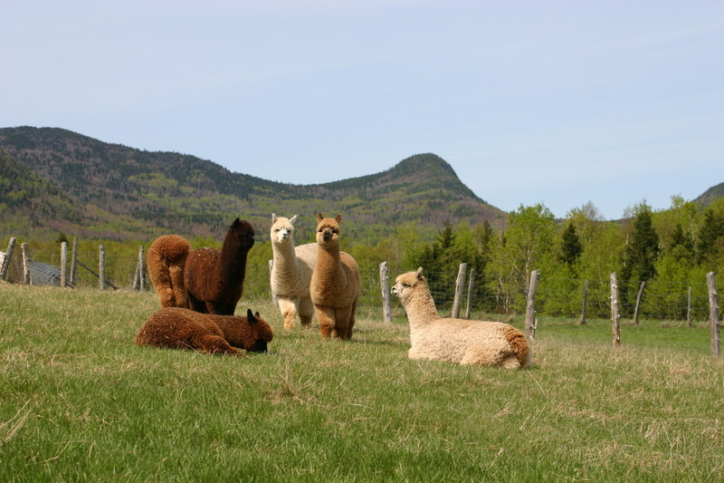 In addition to the fiber, you can also discover the farm and the animal. You will see alpacas on site!