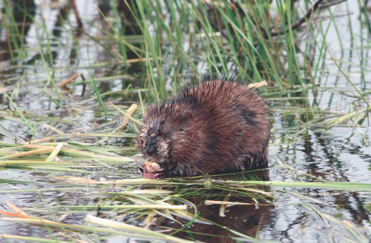 Le rat musqué fréquente les sites qui présentent une importante quantité de joncs, quenouilles et autres plantes aquatiques dont ils sont friands.