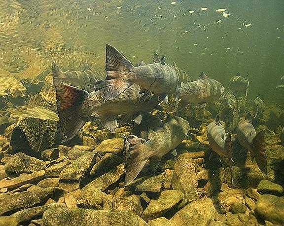 <p>Vue de la cam&eacute;ra sous-marine.<br /><br />Les saumons de l&#39;Atlantique font leur apparition dans la Matap&eacute;dia vers la mi-mai. La plupart de ces poissons se rendent ensuite dans la rivi&egrave;re Causapscal.</p>