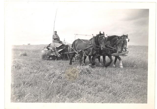 <p>Trois chevaux attel&eacute;s &agrave; une moissonneuse, vers 1945. Conducteur non identifi&eacute;.</p>