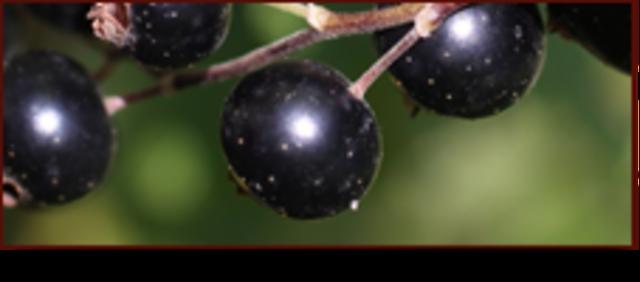<p>D&#39;autres produits faits &agrave; base de cassis sont aussi disponibles.</p>