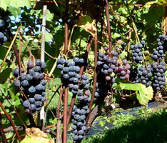 <p>Ce vignoble offre diff&eacute;rentes sortes de vin &eacute;labor&eacute;es par un &oelig;nologue d&#39;exp&eacute;rience.</p>