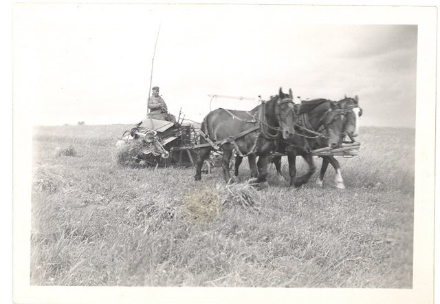 <p>Three horses harnessed to a harvester in 1945. Driver not identified.</p>