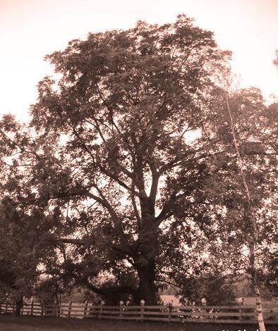<p>175 ans apr&egrave;s avoir &eacute;t&eacute; plant&eacute; par Eli Ives, un noyer noir est toujours debout en face du cimeti&egrave;re Ives Hill.<br />Ce noyer est consid&eacute;r&eacute; comme l&rsquo;un des arbres exceptionnels du Qu&eacute;bec. Il se trouve &agrave; droite de la maison moderne qui a remplac&eacute; celle qu&rsquo;avait construite Eli peu apr&egrave;s son arriv&eacute;e en 1832 et qui a br&ucirc;l&eacute; au d&eacute;but des ann&eacute;es 1950.</p>