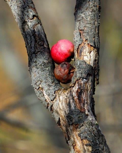 <p>Observez autour de vous les pommiers et les autres arbres fruitiers. Partez &agrave; leur recherche! Ils sont des t&eacute;moins du pass&eacute; agricole du territoire.</p>