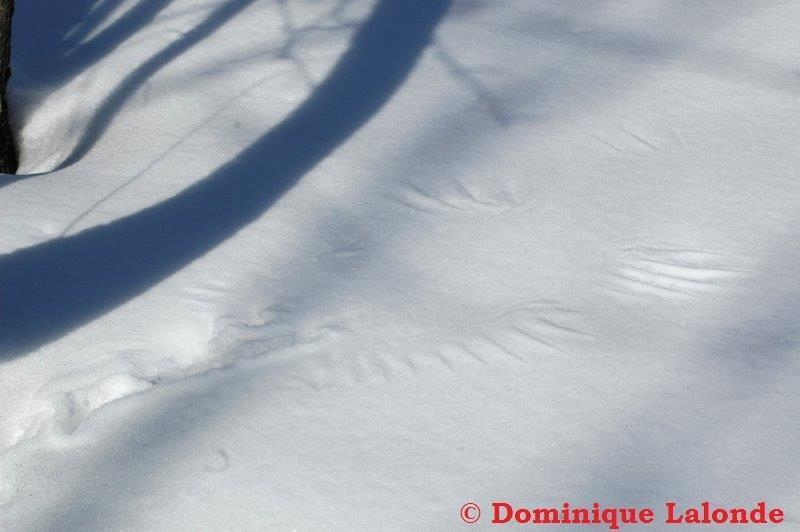 <p>La g&eacute;linotte hupp&eacute;e, un oiseau terrestre, d&eacute;veloppe quant &agrave; elle une frange corn&eacute;e aux doigts qui lui sert de raquettes. Lors de froids intenses, elle s&#39;enfouit dans la poudreuse pour se prot&eacute;ger durant la nuit. Imaginez les traces que laisse son envol !<br /><br />(Photo: Traces d&#39;ailes de g&eacute;linotte laiss&eacute;es dans la neige)</p>