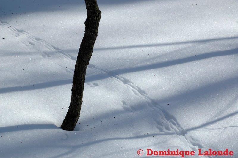 <p>C&#39;est la souris sylvestre qui est pass&eacute;e par ici! Observez les traces laiss&eacute;es par sa queue.</p>