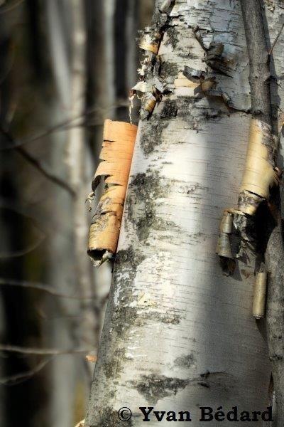 <p>Puisqu&rsquo;ils perdent leurs feuilles pour survivre durant la saison froide, les arbres feuillus sont plus difficiles &agrave; distinguer les uns des autres. Ils poss&egrave;dent cependant d&rsquo;autres caract&egrave;res permettant de les identifier en hiver, comme leur &eacute;corce, leurs rameaux, leurs bourgeons ou leurs fruits. Essayez de retrouver les arbres et arbustres suivants.<br /><br />Ci-dessus, le bouleau &agrave; papier, qui poss&egrave;de une &eacute;corce blanche tombant en grands lambeaux minces.</p>