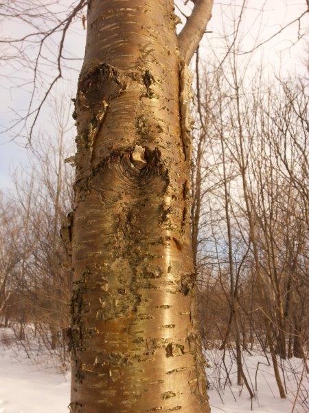 <p>Avec son &eacute;corce fris&eacute;e, dor&eacute;e et lustr&eacute;e, le bouleau jaune, arbre embl&egrave;me du Qu&eacute;bec, est facile &agrave; identifier. Un autre moyen inusit&eacute; de reconna&icirc;tre cet arbre est de go&ucirc;ter &agrave; ses rameaux, &agrave; saveur d&rsquo;essence de &laquo; wintergreen &raquo; (th&eacute; des bois).</p>