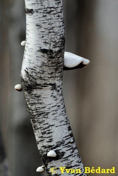 <p>La troisi&egrave;me et derni&egrave;re essence de bouleau pr&eacute;sente au Qu&eacute;bec et au marais est le bouleau gris. Remarquez les taches noires de forme triangulaire qui sont g&eacute;n&eacute;ralement observ&eacute;es sur son &eacute;corce blanch&acirc;tre, sous les branches.</p>