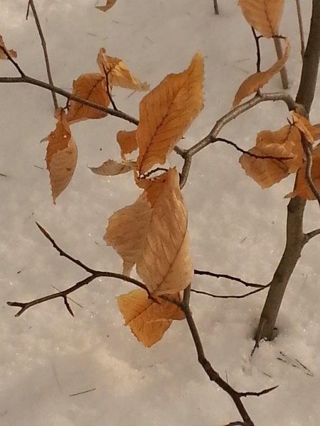 <p>Le h&ecirc;tre &agrave; grandes feuilles garde ses feuilles pendant l&#39;hiver, ce qui nous permet de l&#39;identifier facilement. Vous remarquerez aussi son &eacute;corce lisse, de couleur gris &eacute;l&eacute;phant.</p>