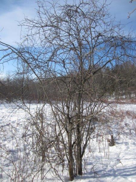 <p>L&#39;aub&eacute;pine est un arbuste &eacute;pineux apparent&eacute; au rosier. Vous observerez peut-&ecirc;tre des petits fruits rouges qui persistent sur ses branches pendant l&#39;hiver, et dont se nourrissent les animaux du marais. Les aub&eacute;pines servent parfois de support aux vignes; pouvez-vous distinguer les deux v&eacute;g&eacute;taux?</p>