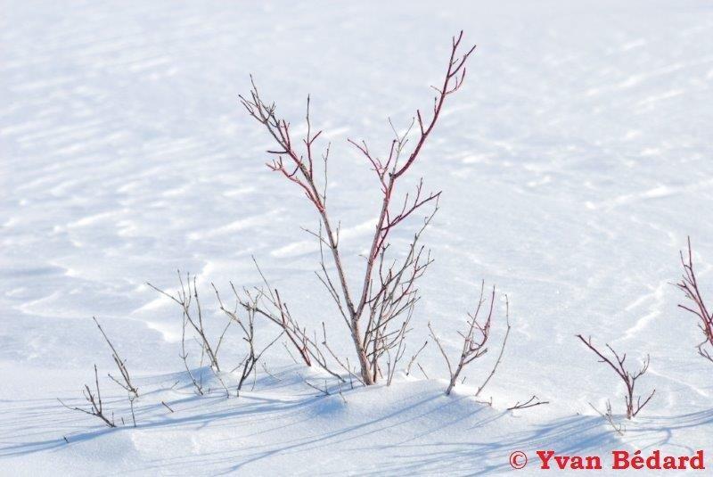 <p>Le cornouiller stolonif&egrave;re, aussi connu sous le nom de hart rouge, se reconna&icirc;t par ses branches rouge vif. On qualifie cet arbuste de stolonif&egrave;re parce qu&#39;il se reproduit de mani&egrave;re v&eacute;g&eacute;tative &agrave; l&#39;aide de stolons, des tiges rampantes termin&eacute;es par un bourgeon qui donnera naissance &agrave; un nouvel arbuste du m&ecirc;me clone, g&eacute;n&eacute;tiquement identique &agrave; l&#39;arbuste m&egrave;re.</p>