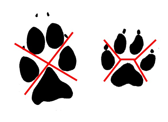 <p>Comment peut-on distinguer les pistes d&#39;un chien de celles d&#39;un coyote? Le premier &eacute;l&eacute;ment &agrave; regarder est l&#39;espace entre les coussinets. On remarque chez le coyote que l&#39;on peut former un &quot;X&quot; avec l&#39;espace laiss&eacute; entre les coussinets. Par contraste, chez la plupart des chiens, cet espace forme un &quot;H&quot;. Il faut tout de m&ecirc;me se m&eacute;fier, car la grande diversit&eacute; de races de chiens nous fait observer une grande vari&eacute;t&eacute; d&#39;espacements entre les coussinets, y compris certains en forme de &quot;X&quot;.<br /><br />On peut alors s&#39;attarder &agrave; l&#39;angle de la trace. Le coyote laisse une trace plus profonde au niveau des coussinets digitaux, ce qui cr&eacute;e un angle &agrave; partir du coussinet plantaire.<br /><br />De plus, un &oelig;il plus exp&eacute;riment&eacute; peut remarquer que les pistes du coyote sont plus nettes et tendent davantage &agrave; se superposer. Elles sont plus droites, et la foul&eacute;e est g&eacute;n&eacute;ralement plus longue que les pistes d&rsquo;un chien.<br /><br />(Photo: &Agrave; gauche, piste de coyote avec le &quot;X&quot; form&eacute; dans l&rsquo;espace entre les coussinets; &agrave; droite, piste d&rsquo;un chien husky avec le &quot;H&quot;.)</p>
