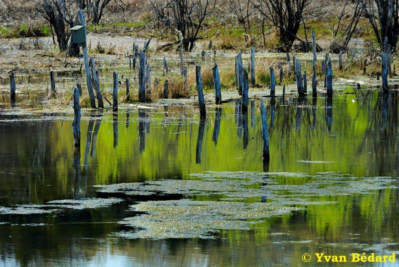 <p>La Soci&eacute;t&eacute; Provancher d&rsquo;histoire naturelle du Canada est heureuse de vous accueillir &agrave; son marais, nomm&eacute; en l&rsquo;honneur du c&eacute;l&egrave;bre entomologiste, l&rsquo;abb&eacute; L&eacute;on Provancher. Le territoire du marais, vou&eacute; &agrave; la protection de la faune et de la flore, couvre une superficie de 125 hectares au nord du fleuve Saint-Laurent. &Agrave; titre comparatif, cette superficie est plus grande que celle du c&eacute;l&egrave;bre parc des Champs-de-Bataille &agrave; Qu&eacute;bec!</p>