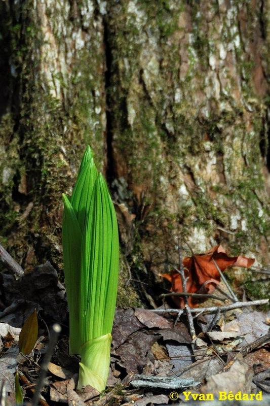 <p>Le v&eacute;r&acirc;tre vert est une grande plante vivace formant de vastes colonies. Sa tige bien droite peut atteindre 1 &agrave; 1,5 m de hauteur. Les feuilles sont larges, fortement vein&eacute;es et pliss&eacute;es. Ses fleurs jaune verd&acirc;tre forment une esp&egrave;ce de pyramide&nbsp; au sommet&nbsp; de la tige. La plante pousse surtout en milieux humides : rivages des cours d&rsquo;eau, pourtour des marais et zones de d&eacute;bordement d&rsquo;eau printani&egrave;re. Le v&eacute;r&acirc;tre vert est aussi appel&eacute; &laquo; Tabac du diable&nbsp; &raquo;, &agrave; cause d&rsquo;une substance toxique qu&rsquo;il contient et qui cause des br&ucirc;lures d&rsquo;estomac et des vomissements. Si la plante n&rsquo;est pas compl&egrave;tement vomie, l&rsquo;empoisonnement peut conduire &agrave; la mort.<br /><br />(Photo: Jeune pousse de v&eacute;r&acirc;tre vert)</p>
