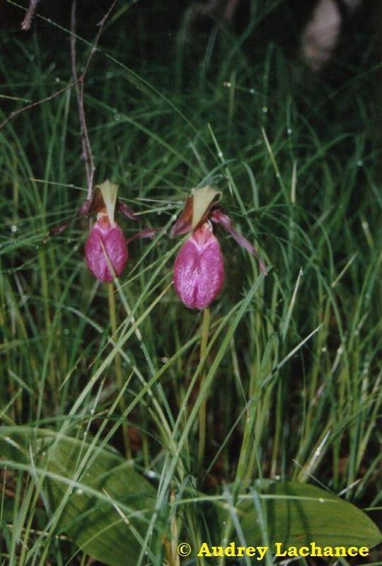 <p>Le sabot de la Vierge est une plante de la famille des Orchidac&eacute;es qui pousse dans le sud&nbsp; du Qu&eacute;bec jusqu&rsquo;&agrave; la baie James et la Basse-C&ocirc;te-Nord. Sa fleur rose, parfois blanche, est spectaculaire avec un de ses p&eacute;tales gonfl&eacute;, en forme de sac, et travers&eacute; de veines plus fonc&eacute;es. Cette plante &eacute;tait utilis&eacute;e par certaines tribus am&eacute;rindiennes pour fabriquer un philtre d&rsquo;amour. Ne la d&eacute;rangez pas : elle prend 15 ans &agrave; produire une premi&egrave;re fleur et peut vivre plus de 50 ans.<br /><br />(Photo: Sabot de la Vierge)</p>