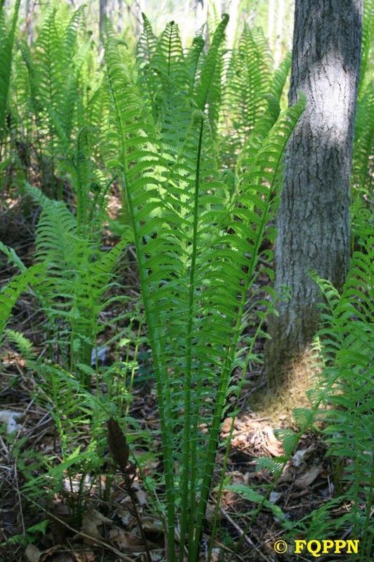 <p>Bien des foug&egrave;res se plaisent dans les sols humides, et elles sont abondantes sur le territoire. Au printemps, plusieurs esp&egrave;ces &eacute;mergent en couronne, d&rsquo;abord roul&eacute;es en crosses, puis &eacute;talant leur feuillage au fur et &agrave; mesure que la saison progresse. Les crosses de la matteucie foug&egrave;re-&agrave;-l&rsquo;autruche&nbsp; d&#39;Am&eacute;rique, aussi appel&eacute;es t&ecirc;tes-de-violon, sont parmi les premiers l&eacute;gumes frais que l&rsquo;on peut d&eacute;guster au printemps. Prenez note que leur cueillette est interdite sur notre territoire, comme celle des autres plantes.<br /><br />En plus de la matteucie foug&egrave;re-&agrave;-l&rsquo;autruche , vous pourrez observer au marais plusieurs autres esp&egrave;ces de foug&egrave;res : notons la spectaculaire osmonde royale et l&rsquo;onocl&eacute;e sensible, facile &agrave; reconna&icirc;tre gr&acirc;ce &agrave; ses frondes fructif&egrave;res, visibles m&ecirc;me apr&egrave;s l&rsquo;hiver.<br /><br />(Photo: Matteucie foug&egrave;re-&agrave;-l&#39;autruche d&#39;Am&eacute;rique)</p>