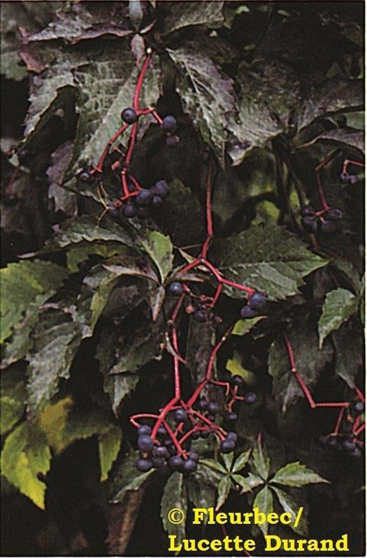<p>La &nbsp;parth&eacute;nocisse &agrave; cinq folioles a une floraison plus tardive. Comme son nom l&rsquo;indique, sa feuille compos&eacute;e poss&egrave;de cinq folioles. Ses vrilles se terminent chacune par une ventouse. &Agrave; l&rsquo;automne, on admire son feuillage d&rsquo;un rouge remarquable.<br /><br />Vous observerez, sur les tiges des vieux sujets, que l&rsquo;&eacute;corce de ces deux plantes s&rsquo;effiloche en lani&egrave;res.<br /><br />Il est &eacute;tonnant de voir la capacit&eacute; de ces plantes &agrave; grimper avec leurs vrilles et leurs ventouses . Qu&rsquo;en est-il des raisins de ces vignes? Alors que le fruit de la vigne des rivages est comestible pour les humains, celui de la parth&eacute;nocisse &agrave; cinq folioles ne l&rsquo;est pas et serait plut&ocirc;t toxique. Prudence! Laissons les oiseaux g&eacute;rer la r&eacute;colte!<br /><br />(Photo: Parth&eacute;nocisse &agrave; cinq folioles)</p>
