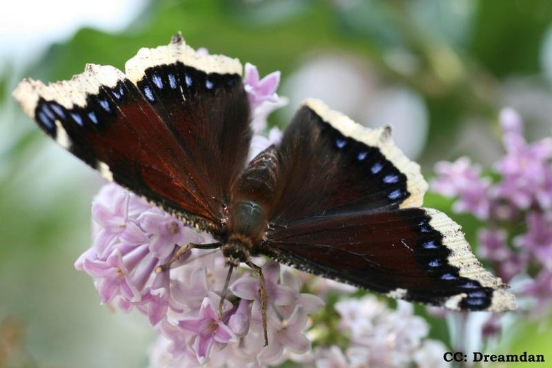 <p>Le papillon morio est exceptionnel, car il passe l&rsquo;hiver sous forme adulte, camoufl&eacute; sous un &eacute;pais tapis de feuilles mortes. D&egrave;s les premi&egrave;res journ&eacute;es ensoleill&eacute;es d&rsquo;avril, ce grand papillon reprend&nbsp; son envol &agrave; la recherche de nectar. Le dessus des ailes est brun-marron, et leur contour tr&egrave;s dentel&eacute; est jaun&acirc;tre avec des motifs bleus et jaunes. Le dessous des ailes est gris fonc&eacute;, sans motif. Il fr&eacute;quente les lisi&egrave;res des bois et les chemins forestiers dans les for&ecirc;ts mixtes, d&rsquo;avril &agrave; octobre.<br /><br />(Photo: Morio,&nbsp;CC BY-SA 3.0 (http://creativecommons.org/licenses/by-sa/3.0))</p>