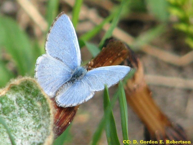<p>L&rsquo;azur printanier est un papillon diurne solitaire tr&egrave;s commun, qui fr&eacute;quente divers types de for&ecirc;ts et qui circule dans les sentiers, les chemins et les clairi&egrave;res de bois&eacute;s mixtes. On l&rsquo;observe d&egrave;s avril et jusqu&rsquo;&agrave; la fin mai. Le dessus des ailes pr&eacute;sente diff&eacute;rentes teintes de bleu, allant du p&acirc;le au fonc&eacute;, avec de l&eacute;gers motifs sur les contours. Le dessous des ailes est couvert d&rsquo;un agencement de blanc et de gris que traversent des motifs fonc&eacute;s et vari&eacute;s. Les adultes se nourrissent du nectar des fleurs du cornouiller, de la viorne&nbsp; et du bleuet.<br /><br />(Photo: Azur printanier,&nbsp;CC BY-SA 3.0 (http://creativecommons.org/licenses/by-sa/3.0))</p>