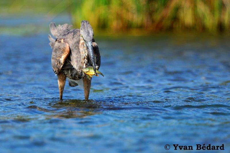 <p>On ne les voit jamais, ou sinon, rarement, mais ils sont bel et bien l&agrave; : les poissons! Et non seulement ils sont pr&eacute;sents, mais ils sont &eacute;galement tr&egrave;s importants dans la cha&icirc;ne alimentaire. Ils servent de proies &agrave; plusieurs animaux du marais comme les h&eacute;rons, certaines esp&egrave;ces de canards et le vison.<br /><br />Les poissons ont besoin d&rsquo;un habitat de qualit&eacute; (l&rsquo;eau, &eacute;videmment), de nourriture, de sites de reproduction (fray&egrave;res), d&rsquo;abris, et ils doivent pouvoir circuler librement entre ces diff&eacute;rents milieux indispensables. Le marais L&eacute;on-Provancher offre tout cela &agrave; deux esp&egrave;ces de poissons : le crapet-soleil et le mulet &agrave; cornes.<br /><br />(Photo: Grand h&eacute;ron se nourrissant d&#39;un crapet-soleil)</p>