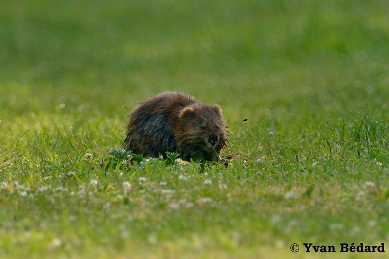 <p>Plusieurs mammif&egrave;res r&eacute;sident sur le territoire du marais, tant en milieu forestier qu&rsquo;en milieu aquatique. En marchant sur la digue, la marmotte d&rsquo;Am&eacute;rique pourrait &ecirc;tre vue, broutant l&rsquo;herbe dans le sentier; sinon, il sera possible de voir l&rsquo;entr&eacute;e de son terrier. Dans la partie aquatique, le rat musqu&eacute; pourrait &ecirc;tre observ&eacute;, nageant habilement. Vous pourriez aussi croiser une hermine, &agrave; la recherche d&rsquo;une proie.<br /><br />En milieu forestier, un bruit de brassage de feuilles mortes pourrait attirer votre attention sur un tamia ray&eacute;, une souris sylvestre, un campagnol &agrave; dos roux ou une musaraigne. Grimp&eacute; dans un arbre mature, l&rsquo;&eacute;cureuil roux lancera des cris stridents &agrave; votre approche. Quelques autres mammif&egrave;res plut&ocirc;t discrets sillonnent le territoire tels le renard roux, le coyote et le li&egrave;vre d&rsquo;Am&eacute;rique. Les cabanes install&eacute;es sur le territoire accueillent quelques chauves-souris qui r&eacute;sident dans ces abris durant le jour. Elles sont actives surtout le soir et la nuit.<br /><br />(Photo: Rat musqu&eacute;)</p>