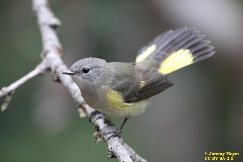 <p>La paruline flamboyante est l&rsquo;une des plus jolies &agrave; fr&eacute;quenter nos for&ecirc;ts. Le m&acirc;le aime &eacute;taler sa queue et incliner ses ailes vers le bas afin de mettre en &eacute;vidence les taches orange vif sur son plumage noir. Par contraste, la robe de la femelle est brun olive avec des taches jaunes sur les ailes et la queue. Le chant du m&acirc;le comprend plusieurs gammes complexes qui mettent les observateurs en d&eacute;route. La femelle construit son nid dans la fourche d&rsquo;un arbuste feuillu, tout pr&egrave;s du sol. Cette esp&egrave;ce fr&eacute;quente surtout les for&ecirc;ts de jeunes feuillus, de mai &agrave; septembre.<br /><br />(Photo: Paruline flamboyante femelle)</p>