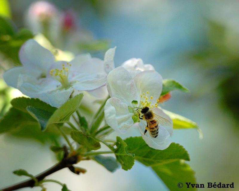 <p>Le printemps est aussi propice &agrave; la floraison d&rsquo;arbres fruitiers. Le territoire compte une quinzaine d&rsquo;esp&egrave;ces d&rsquo;aub&eacute;pines, dont les fleurs portent des &eacute;tamines de couleurs variables, souvent tr&egrave;s voyantes. Prenez le temps de les comparer tout en vous m&eacute;fiant des &eacute;pines plus ou moins longues pr&eacute;sentes sur leurs troncs et leurs branches. La pie gri&egrave;che empale ses proies sur les &eacute;pines avant de les manger. Les fruits de l&rsquo;aub&eacute;pine s&rsquo;av&egrave;rent une excellente nourriture pour les oiseaux en hiver.<br />T&ocirc;t au printemps, observez la floraison spectaculaire de l&rsquo;am&eacute;lanchier, un arbre indig&egrave;ne au tronc gris&acirc;tre, qui porte de nombreuses fleurs d&rsquo;un blanc &eacute;clatant et des fruits qui ressemblent &agrave; de petites poires &agrave; l&rsquo;automne. Sur votre passage, vous aurez probablement aussi l&rsquo;occasion de voir des pommiers &eacute;chapp&eacute;s de culture. La fragrance de leurs fleurs pourrait vous aider &agrave; les rep&eacute;rer.<br /><br />(Photo: Fleur de pommier)</p>