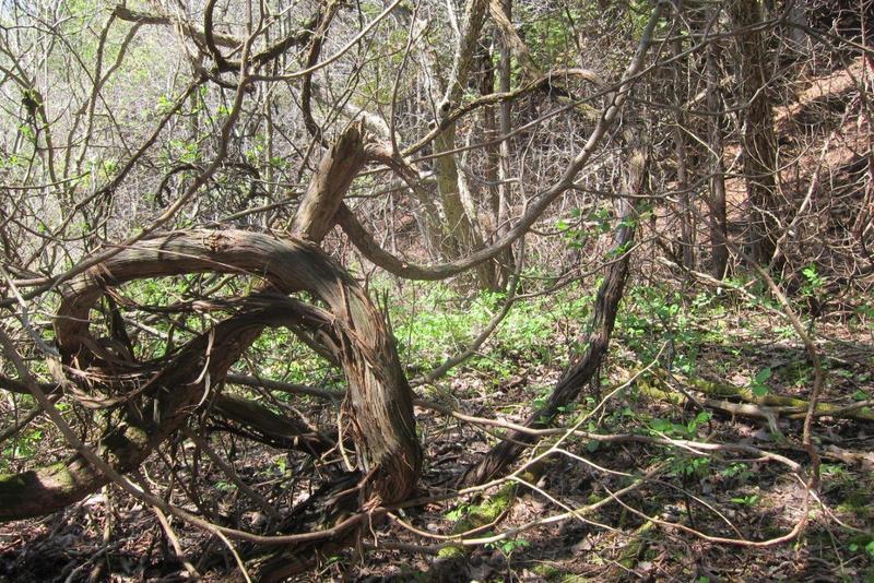 <p>Les plantes grimpantes, comme les vignes, sont des vraies expertes en camouflage. Constatez-le par vous-m&ecirc;me en cherchant les vignes sur cette photo.</p>