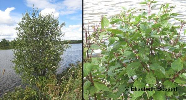 <p>L&rsquo;herba&ccedil;aie domine le paysage avec des plantes de grande et de moyenne taille, des plantes flottantes et des carex (ou la&icirc;ches), un genre de plante des milieux humides qui produit des fleurs en &eacute;pis.<br /><br />Sur la digue, notez aussi la pr&eacute;sence de saules (photo de gauche) et de cornouillers stolonif&egrave;res (photo de droite) dans la strate arbustive.<br /><br />Photos: &copy; &Eacute;lisabeth Bossert</p>