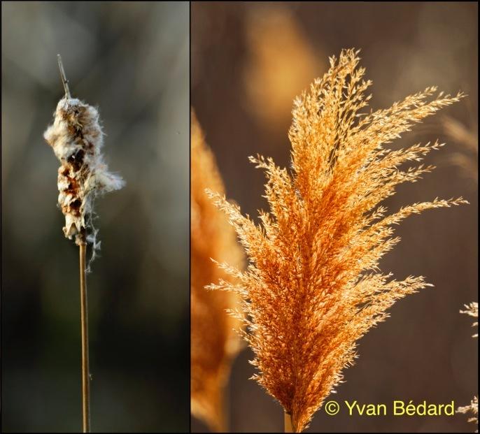 <p>&Agrave; cause du gradient de pente qui va du nord-ouest au sud-est, les portions ouest et nord-ouest du marais (au fond &agrave; gauche) sont moins profondes. Elles sont colonis&eacute;es par la quenouille &agrave; feuilles larges (photo de gauche) et le roseau commun (photo de droite), une esp&egrave;ce envahissante au Qu&eacute;bec.<br /><br />Photos : &copy; Yvan B&eacute;dard</p>
