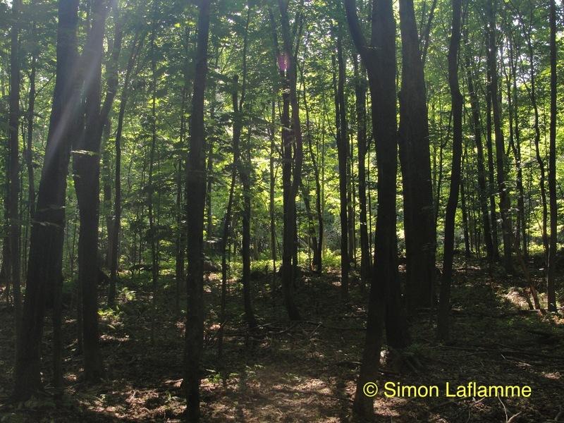 <p>Les feuilles jouent un r&ocirc;le essentiel pour la vie des arbres et des autres plantes qui en poss&egrave;dent. Elles effectuent une r&eacute;action avec la lumi&egrave;re du jour, la photosynth&egrave;se. Gr&acirc;ce &agrave; un pigment appel&eacute; la chlorophylle, les feuilles captent la lumi&egrave;re du soleil et transforment celle-ci en &eacute;nergie qu&rsquo;elles utilisent pour fabriquer des sucres qui vont nourrir l&rsquo;arbre. C&rsquo;est la chlorophylle qui donne la couleur verte aux feuilles des plantes en &eacute;t&eacute;.<br /><br />Photo : &Eacute;rabli&egrave;re, &copy; Simon Laflamme</p>