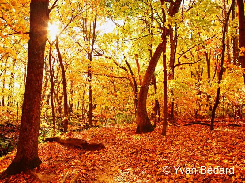 <p>Or, l&rsquo;efficacit&eacute; de la photosynth&egrave;se est directement en lien avec la quantit&eacute; de lumi&egrave;re. &Agrave; l&rsquo;automne, comme les journ&eacute;es raccourcissent, les feuilles ne captent plus autant de lumi&egrave;re. Au lieu d&rsquo;entretenir des feuilles beaucoup moins productives l&rsquo;hiver, les arbres feuillus s&eacute;cr&egrave;tent un bouchon de li&egrave;ge qui scelle le lien nutritif entre la feuille et la branche. Peu &agrave; peu, la chlorophylle restante se d&eacute;grade. Cela permet &agrave; d&rsquo;autres pigments secondaires de couleur jaune, orange, brune, rouge ou violac&eacute;e d&rsquo;appara&icirc;tre dans les feuilles. En &eacute;t&eacute;, ces pigments &eacute;taient pr&eacute;sents dans le feuillage, mais cach&eacute;s par le vert de la chlorophylle.<br /><br />Photo : &copy; Yvan B&eacute;dard</p>