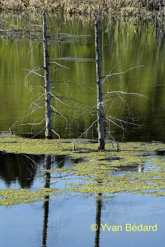<p>Les troncs d&#39;arbres, ou chicots, sont pris&eacute;s par plusieurs esp&egrave;ces d&#39;oiseaux qui les utilisent comme perchoirs tels le martin-p&ecirc;cheur, le carouge &agrave; &eacute;paulette, le quiscale bronz&eacute; et bien d&#39;autres passereaux percheurs.<br /><br />Photo : &copy; Yvan B&eacute;dard</p>